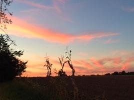 Lonely Corn Stalks